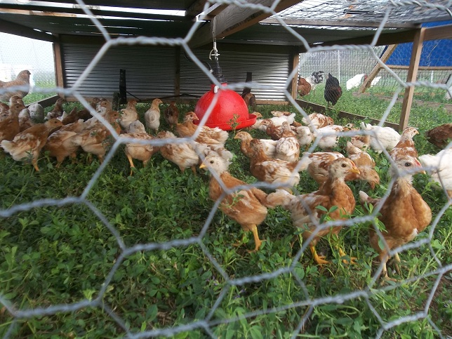 Pullets On Pasture
