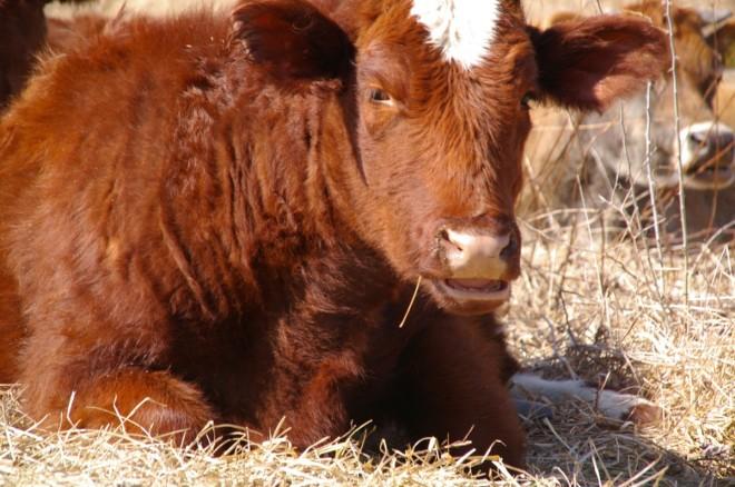 feb cows