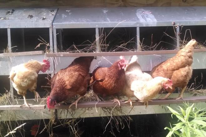 alarm clock chickens