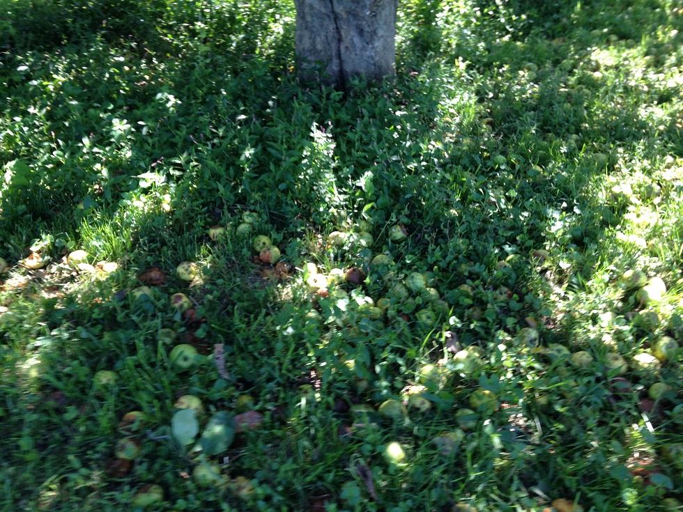 How Many Apple Trees Do I Need Chism Heritage Farm