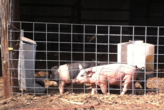 PigFeeder