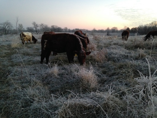FrostyCows